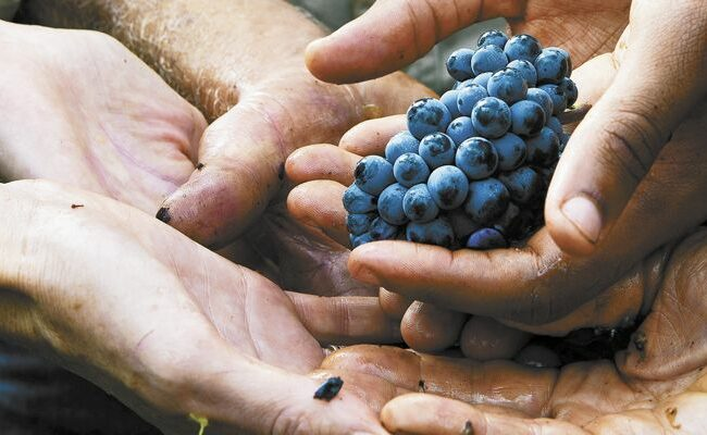Hands holding a cluster of wine grapes