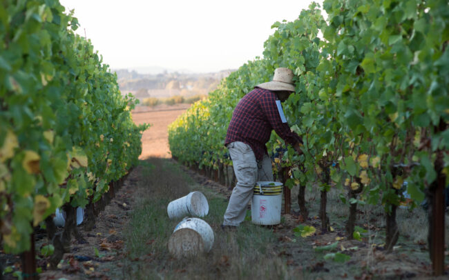 Vineyard worker picking grapes
