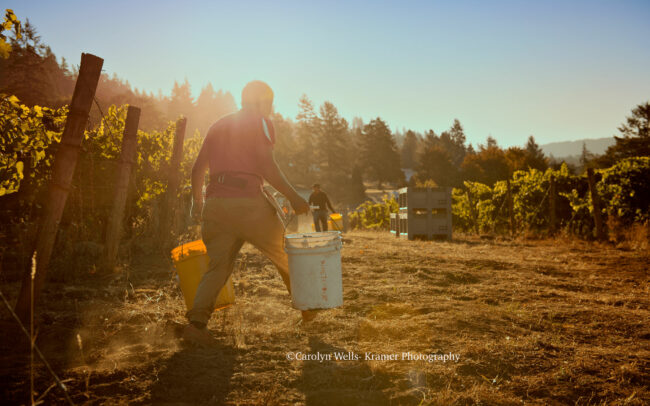 Vineyard worker carrying harvest buckets