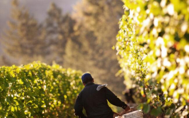 Vineyard worker running down vine row with two buckets