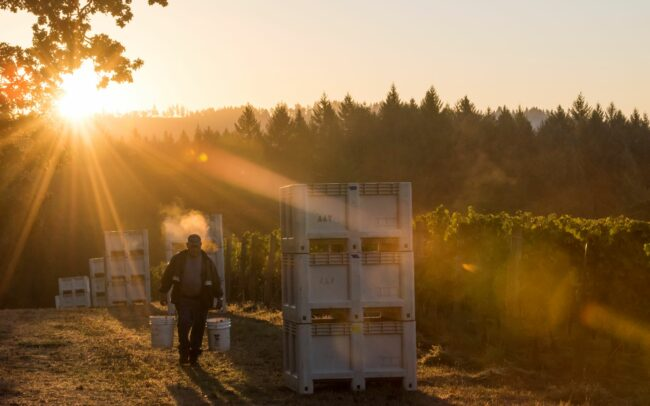 Harvest at sunrise with vineyard worker hauling buckets past stacked picking bins