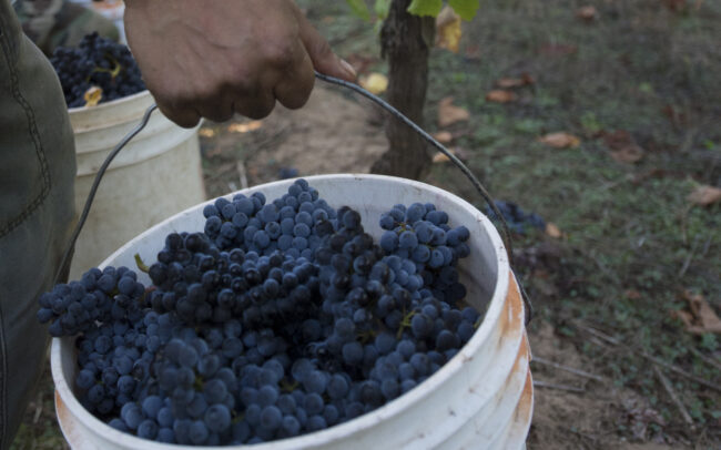 Bucket full of red grapes