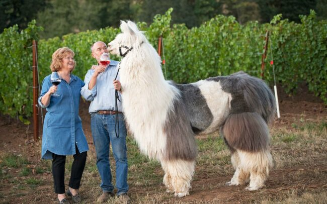 Two people enjoying wine with a llama