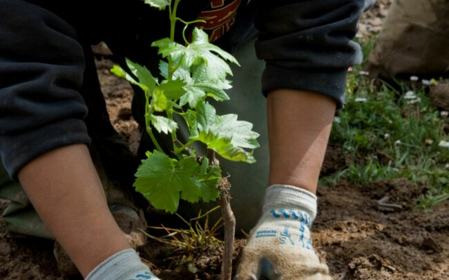 Vineyard worker planting a new baby grapevine