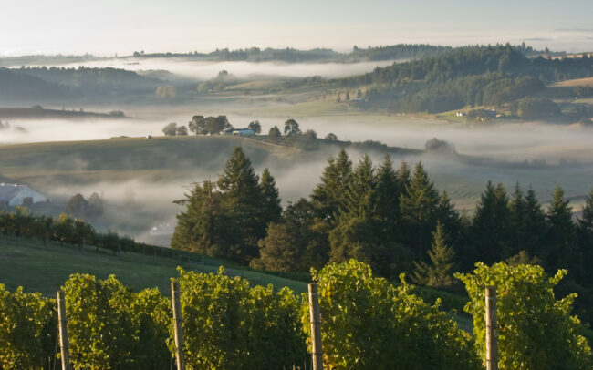 Vineyard with valleys and fog beyond