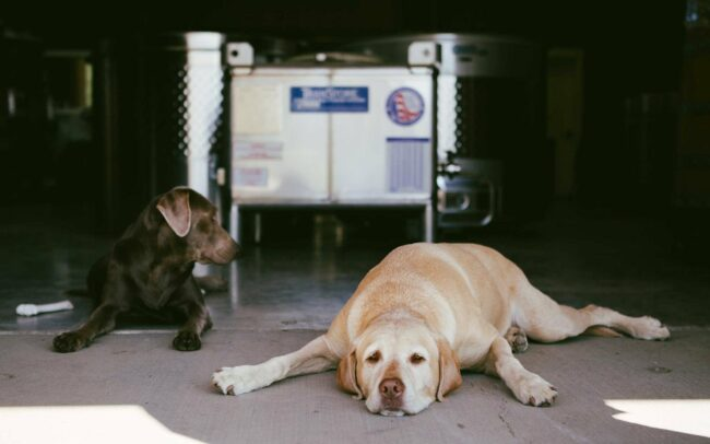 Winery dogs laying on the crush pad floor
